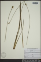 Xyris laxifolia var. laxifolia image