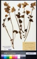Image of Aquilegia alpina
