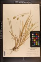 Setaria parviflora image