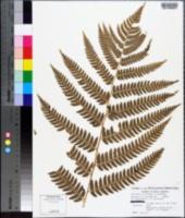 Image of Dryopteris neowherryi