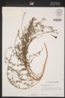 Epilobium canum image