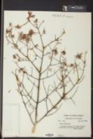 Tsuga caroliniana image