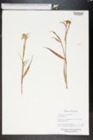 Tradescantia roseolens image