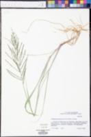 Diplachne fusca subsp. uninervia image