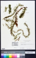 Egeria densa image