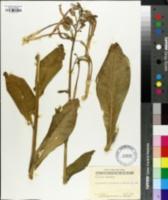 Nicotiana sylvestris image