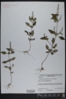 Image of Orthodon dianthera