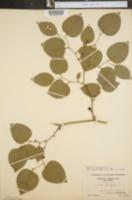 Smilax rotundifolia var. quadrangularis image
