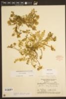 Image of Astragalus villosus
