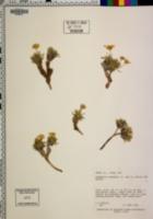 Tetraneuris torreyana image
