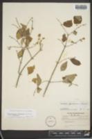 Philadelphus pubescens image