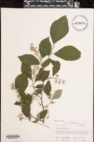 Image of Styrax grandifolius