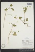 Viola pubescens image