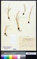 Isoetes histrix image