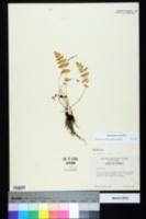 Woodsia obtusa subsp. obtusa image