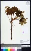 Image of Alchemilla fischeri
