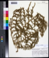 Dysphania multifida image