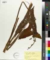 Image of Sagittaria trifolia