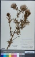Image of Cirsium japonicum