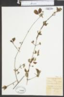Philadelphus floridus image