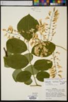 Cladrastis kentukea image