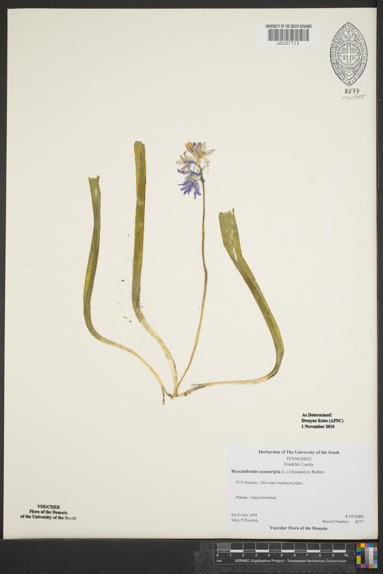 Hyacinthoides image