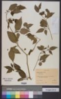 Solanum leonii image