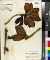 Pittosporum cladanthum image