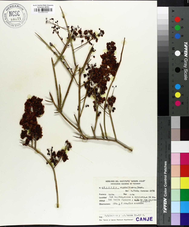 Cassia rigida image