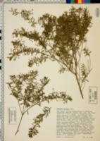 Image of Baeckea virgata