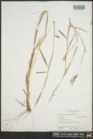 Dichanthium annulatum image