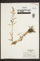 Image of Scutellaria intermedia