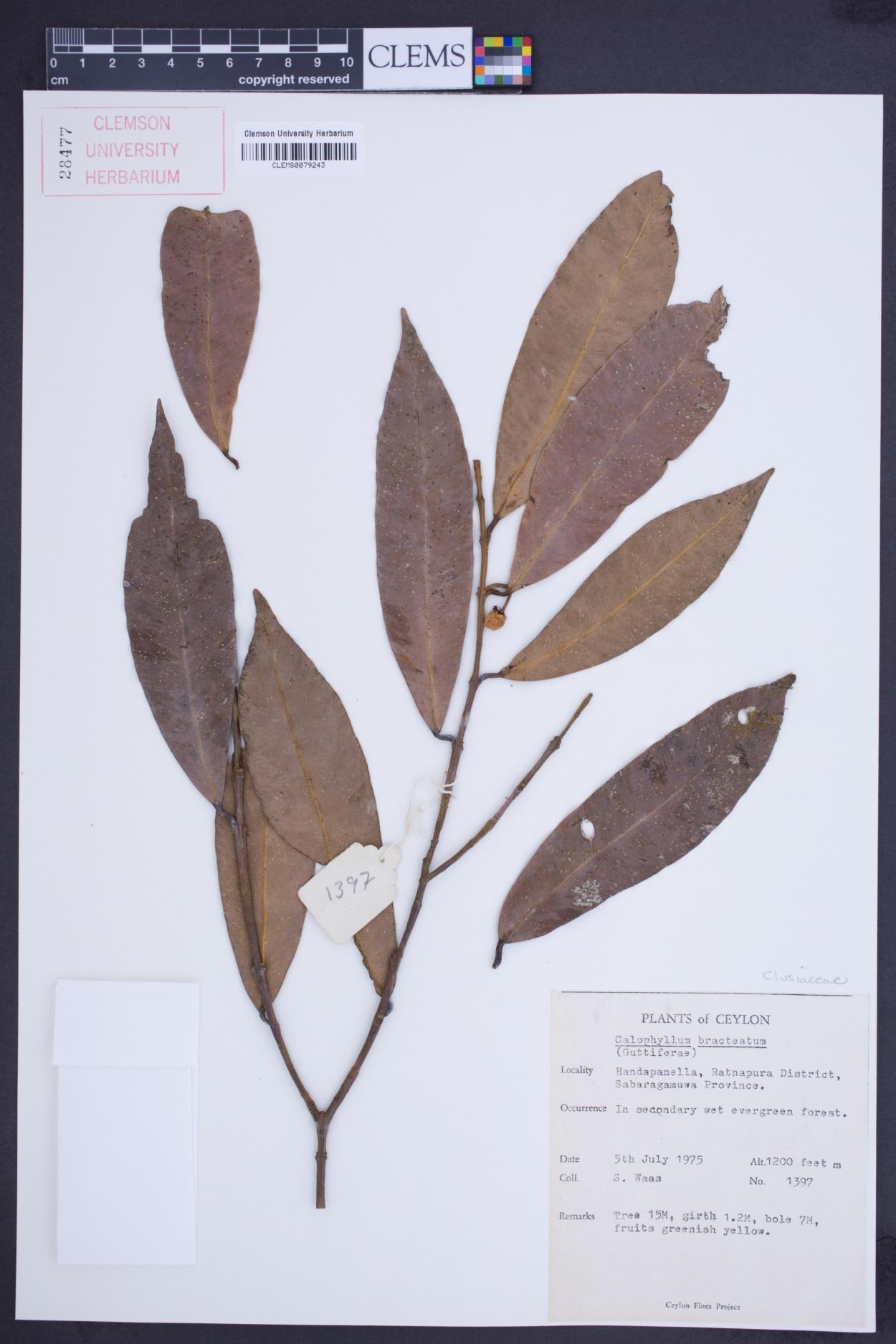 Calophyllum bracteatum image