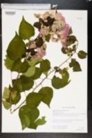 Bougainvillea spectabilis image