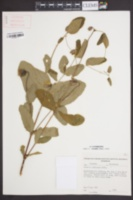 Image of Clematis addisonii