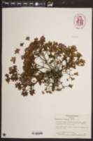 Image of Rhododendron kiusianum