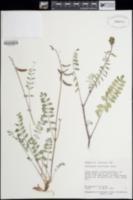 Astragalus ensiformis image