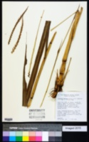 Image of Tripsacum australe