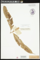 Image of Coniogramme macrophylla