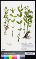 Spigelia loganioides image