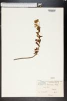 Image of Euphorbia nicaeensis