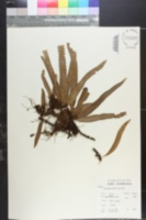 Image of Pleopeltis excavata