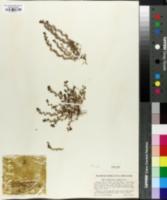 Image of Orthocarpus pusillus