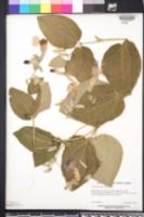 Image of Thunbergia battiscombei