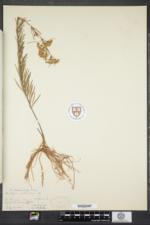 Asclepias verticillata image