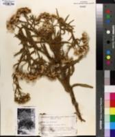 Image of Pluchea parvifolia