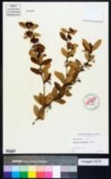 Image of Berberis gagnepainii
