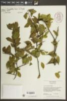 Prunus angustifolia image