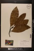 Image of Magnolia schiedeana