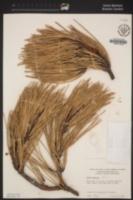Pinus pinaster image